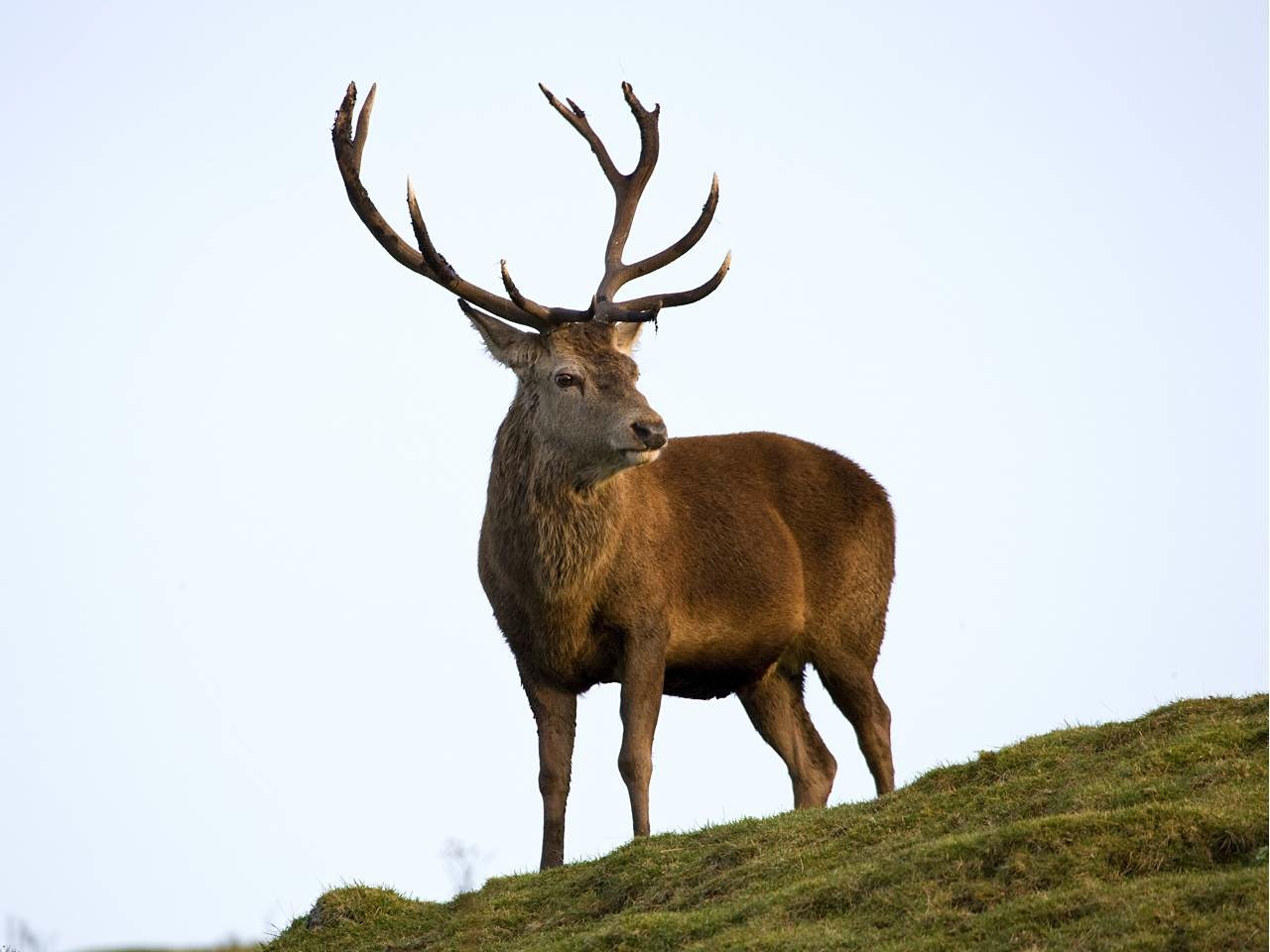 red deer on arran